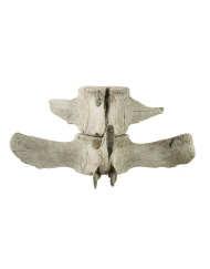 Lot 13C: Whale's Vertebra